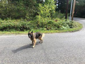 Lost dog on Vashon Island