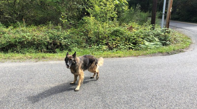 Lost dog on Vashon Island