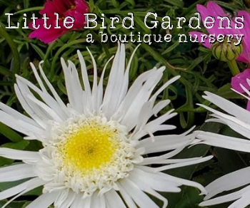Little Bird Nursery - Vashon Island Little Bird Gardens - Vashon Island boutique nursery